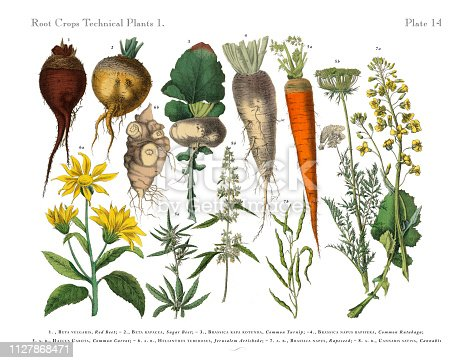 Very Rare, Beautifully Illustrated Antique Engraved Victorian Botanical Illustration of Root Crops and Vegetables: Plate 14, Published in 1886. Source: Original edition from my own archives. Copyright has expired on this artwork. Digitally restored.
