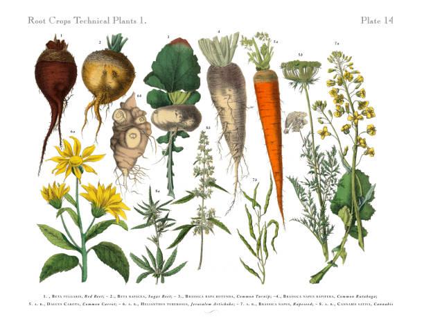 rośliny okopowe i warzywa, wiktoriańska ilustracja botaniczna - kapustowate stock illustrations