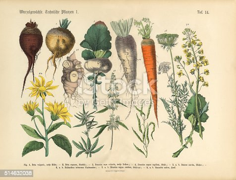 Very Rare, Beautifully Illustrated Antique Engraved Victorian Botanical Illustration of Root Crops and Vegetables: Plate 14, from The Book of Practical Botany in Word and Image (Lehrbuch der praktischen Pflanzenkunde in Wort und Bild), Published in 1886. Copyright has expired on this artwork. Digitally restored.