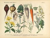 Root Crops and Vegetables, Victorian Botanical Illustration