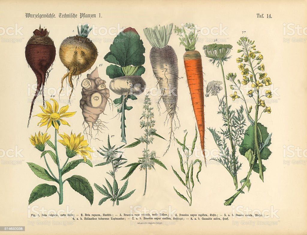 Root Crops and Vegetables, Victorian Botanical Illustration vector art illustration