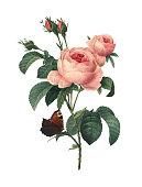 istock Rosa centifolia | Redoubt Flower Illustrations 514346245