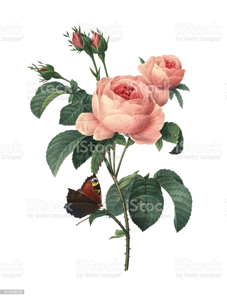Rosa centifolia | Redoute Flower Illustrations vector art illustration
