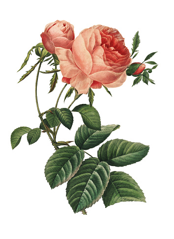 High resolution illustration of a Rosa centifolia  or hundred leaved rose, isolated on white background. Engraving by Pierre-Joseph Redoute. Published in Choix Des Plus Belles Fleurs, Paris (1827).