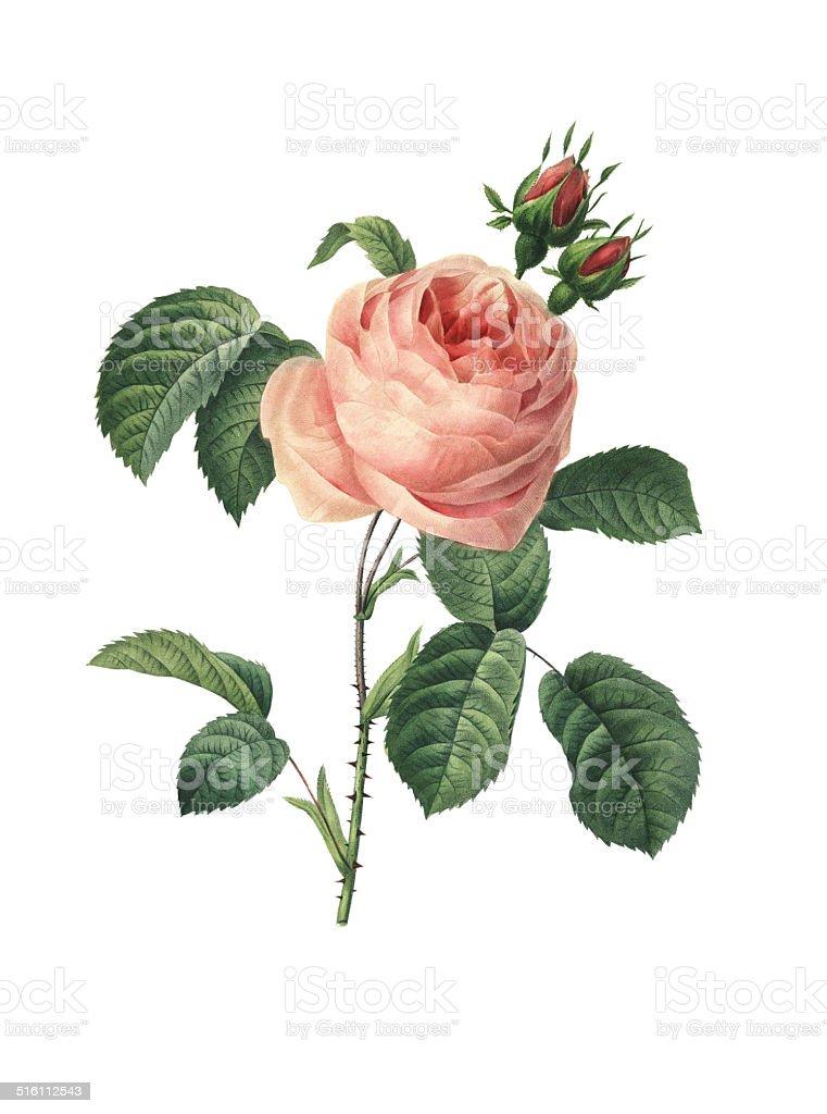 Rosa centifolia | Redoute Flower Illustrations vector art illustration