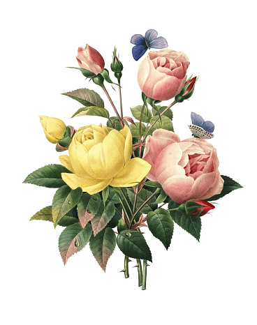 High resolution illustration of a bouquet of rosa lutea and rosa indica, isolated on white background. Engraving by Pierre-Joseph Redoute. Published in Choix Des Plus Belles Fleurs, Paris (1827).