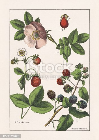 istock Rosaceae, chromolithograph, published in 1895 1271926461