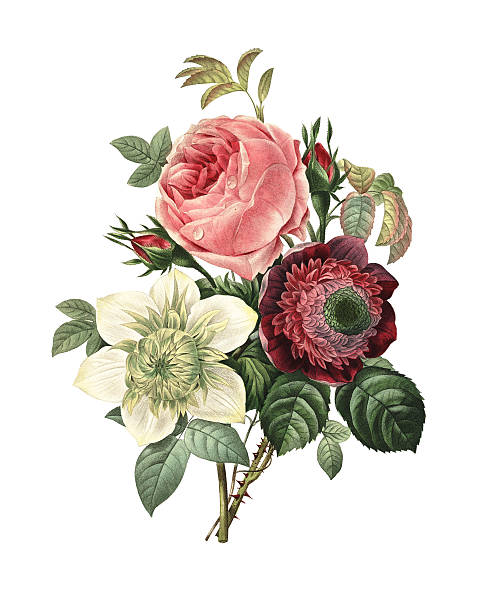 Rose, Anemone and Clematis | Redoute Flower Illustrations High resolution illustration of a bouquet of rose, anemone and clematis, isolated on white background. Engraving by Pierre-Joseph Redoute. Published in Choix Des Plus Belles Fleurs, Paris (1827). bunch stock illustrations