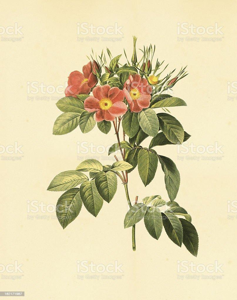 Ilustracion De Xxlilustraciones De Flores Rosa Antigua Y Mas