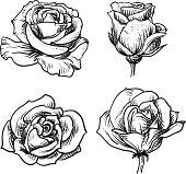 Rose. Hand Drawn illustration.