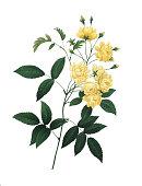 Rose of Bancks | Redoute Flower Illustrations