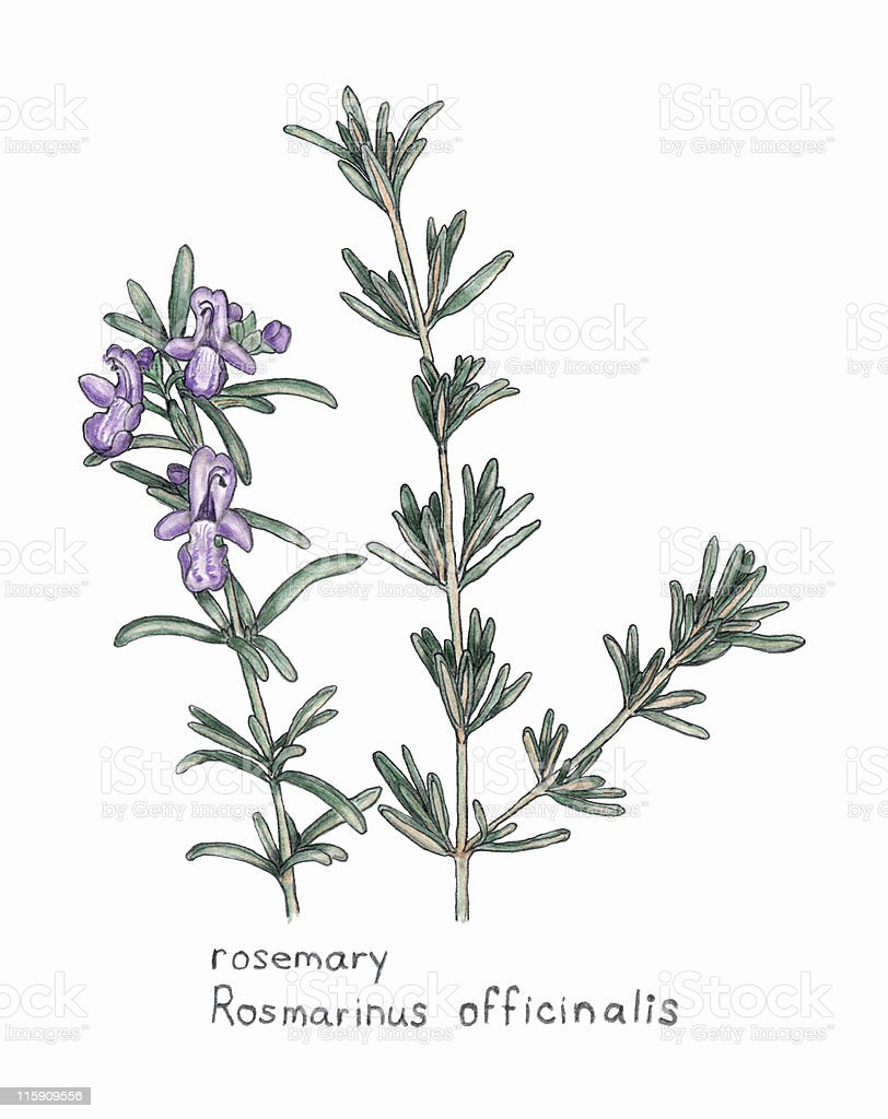 rosemary, Rosmarnis officinalis, botanical drawing in colored pencil royalty-free stock vector art