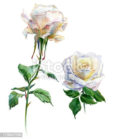 Roses watercolor. Two flowers. Traditional painting