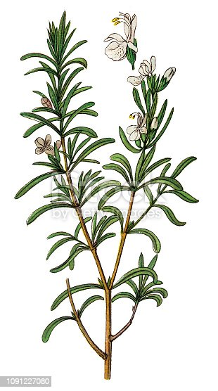 Illustration of a Rosmarinus officinalis, commonly known as rosemary
