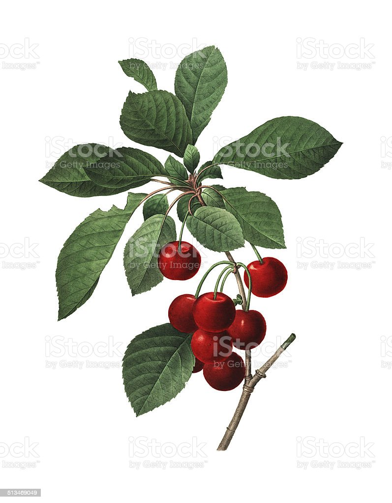 Royal Cherry | Redoute Flower Illustrations vector art illustration