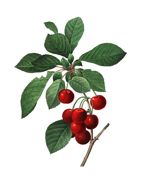 Royal Cherry | Redoute Flower Illustrations High resolution illustration of a Royal Cherry, isolated on white background. Engraving by Pierre-Joseph Redoute. Published in Choix Des Plus Belles Fleurs, Paris (1827). cherry stock illustrations