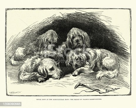 Vintage engraving of Royal dogs, The Prince of Wales's Basset hounds, 1891, 19th Century