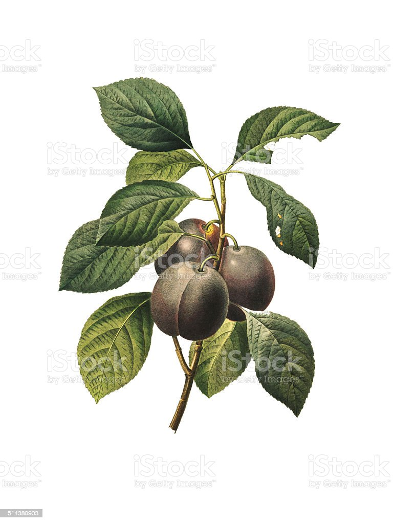 Royal plum   Redoute Botanical Illustrations vector art illustration