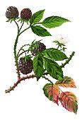 Illustration of a Rubus caesius ,European dewberry