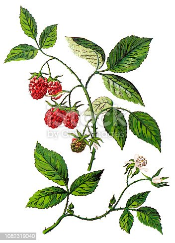 Illustration of a Rubus idaeus ,raspberry, also called red raspberry or occasionally as European raspberry