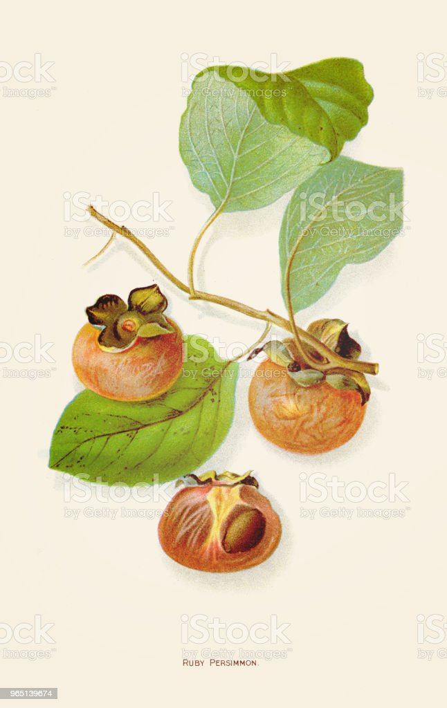 Ruby persimmon illustration 1892 royalty-free ruby persimmon illustration 1892 stock illustration - download image now