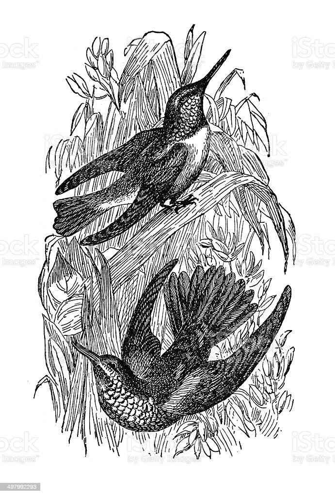 Ruby Throated Humming Bird vector art illustration