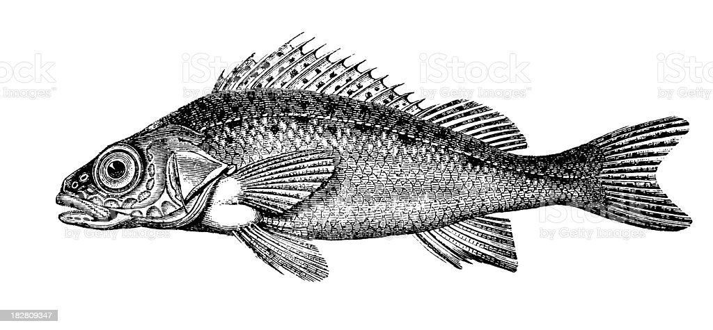 Ruffe | Antique Animal Illustrations royalty-free ruffe antique animal illustrations stock vector art & more images of 19th century