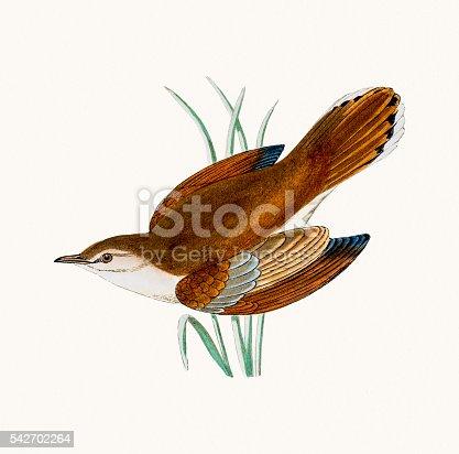 istock Rufous warbler 542702264