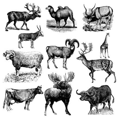 Ruminant or Hoofed Animals - Cow, Sheep, Camel, Buffalo