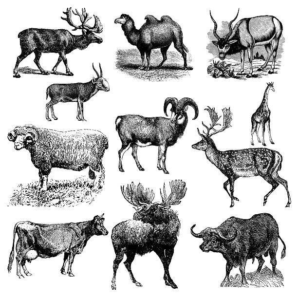 Ruminant or Hoofed Animals - Cow, Sheep, Camel, Buffalo vector art illustration