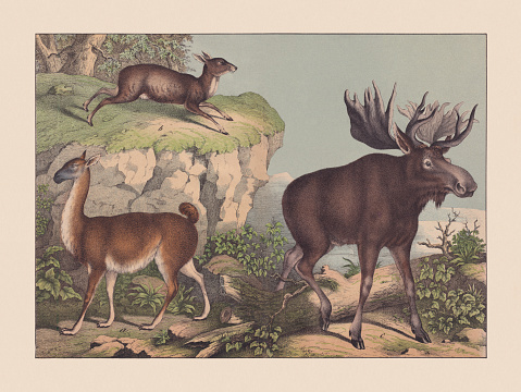 Ruminats, hand-colored chromolithograph, published in 1869