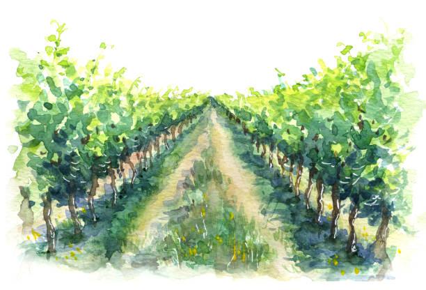 bildbanksillustrationer, clip art samt tecknat material och ikoner med lantlig scen fragment av vingård - vineyard