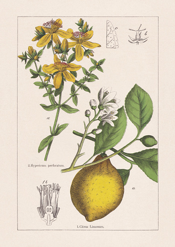 Rutaceae, Hypericaceae, chromolithograph, published in 1895