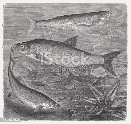 istock Sabrefish, Asp and Nase, wood engraving, published in 1884 484652505