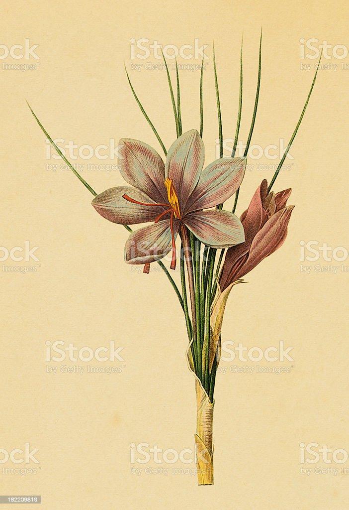 Saffron crocus   Antique Flower Illustrations royalty-free saffron crocus antique flower illustrations stock vector art & more images of 19th century