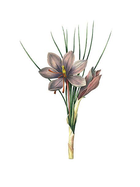 illustrations, cliparts, dessins animés et icônes de safran crocus/redoute illustrations de fleurs - crocus