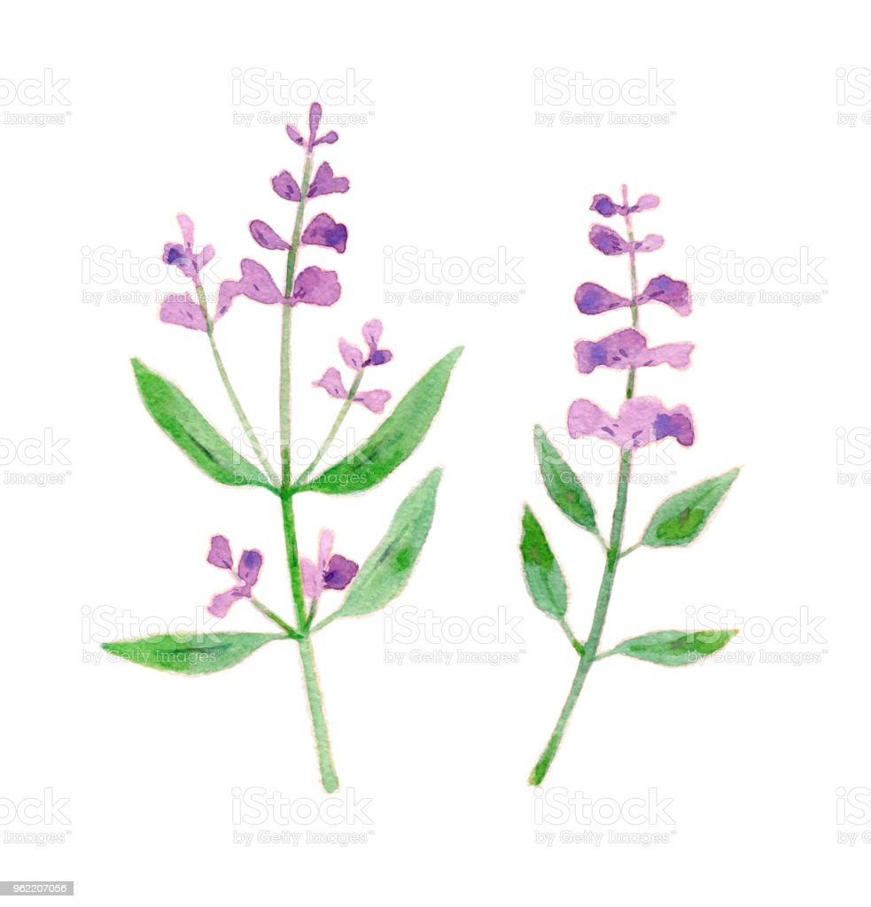 Sage Flower Illustration Isolated Herbs On White Background Stock