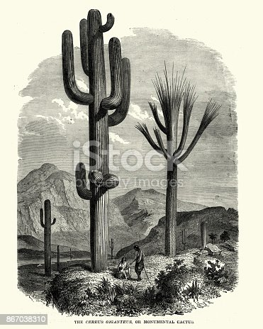 Vintage engraving of Saguaro (Carnegiea gigantea), 19th Century. An arborescent (tree-like) cactus species in the monotypic genus Carnegiea, which can grow to be over 40 feet (12 m) tall. It is native to the Sonoran Desert in Arizona, the Mexican State of Sonora, and the Whipple Mountains and Imperial County areas of California.