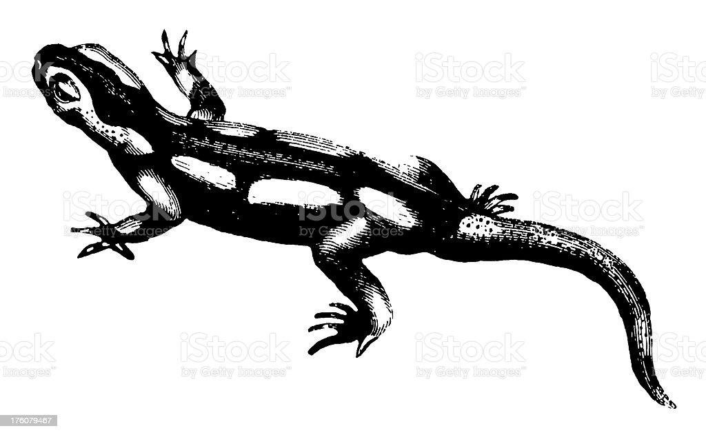 サンショウウオアンティーク動物イラスト 19世紀のベクターアート素材
