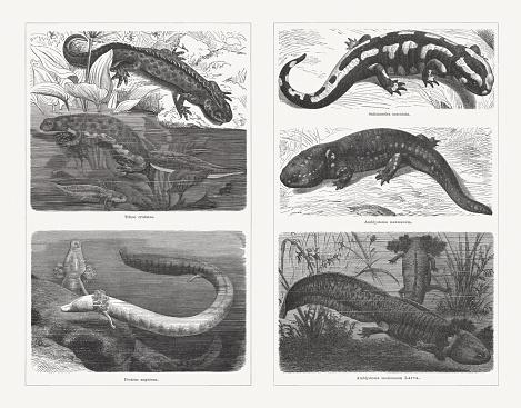 Salamanders (Caudata), wood engravings, published in 1897