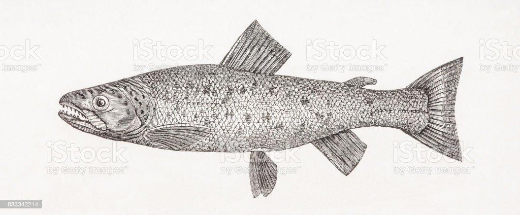 Salar spectabilis - Brown trout antique engraving vector art illustration