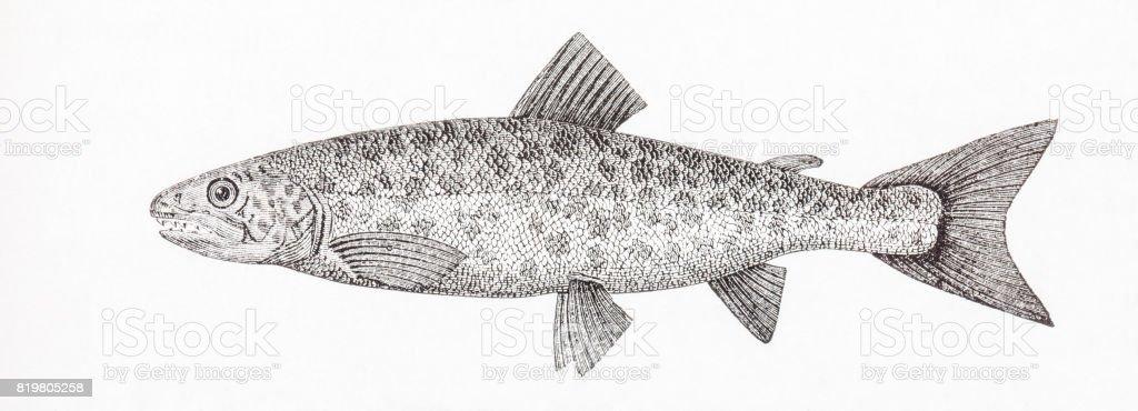 Salmo trutta morpha fario The riverine form of the brown trout Salmo trutta. Antique engraving. vector art illustration