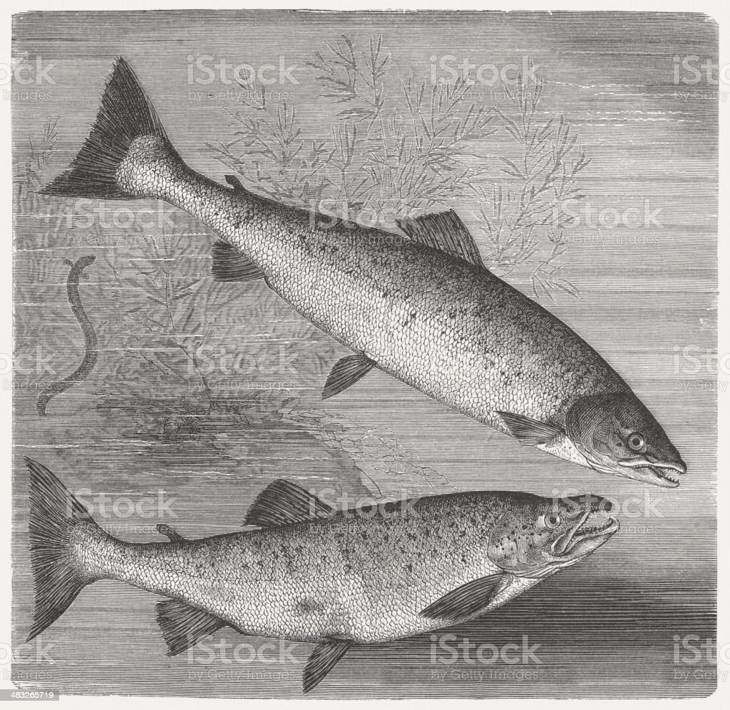 Salmon and Trout vector art illustration