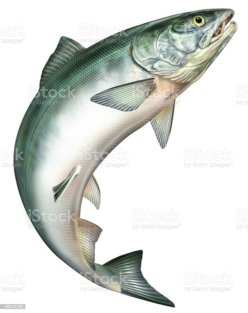 Salmon jumping vector art illustration