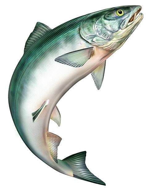 illustrazioni stock, clip art, cartoni animati e icone di tendenza di salmone saltando - trout