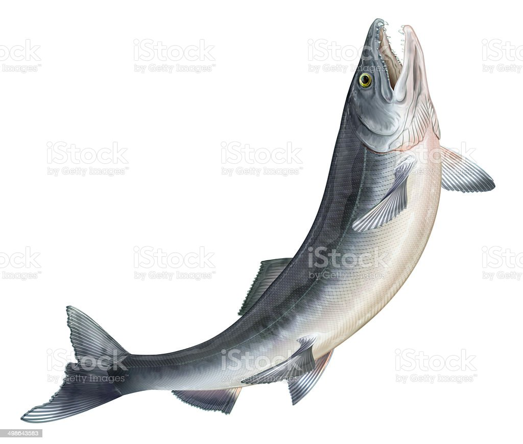 royalty free salmon clip art  vector images Seafood Clip Art Shrimp and Fish