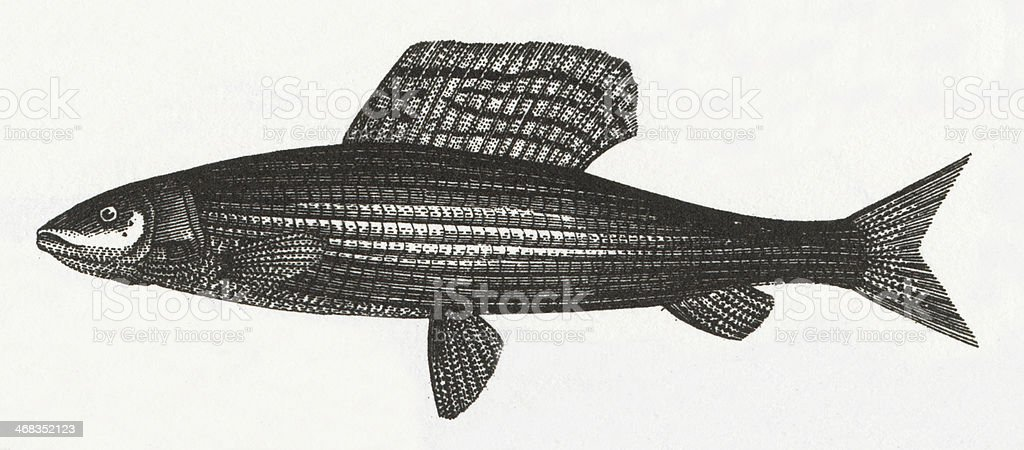 Salmon or Greyling Fish Engraving royalty-free salmon or greyling fish engraving stock vector art & more images of 19th century