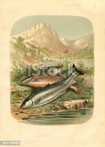 Steel engraving different salmon and trout