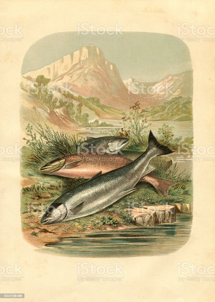 Salmon trout fish engraving 1881 vector art illustration