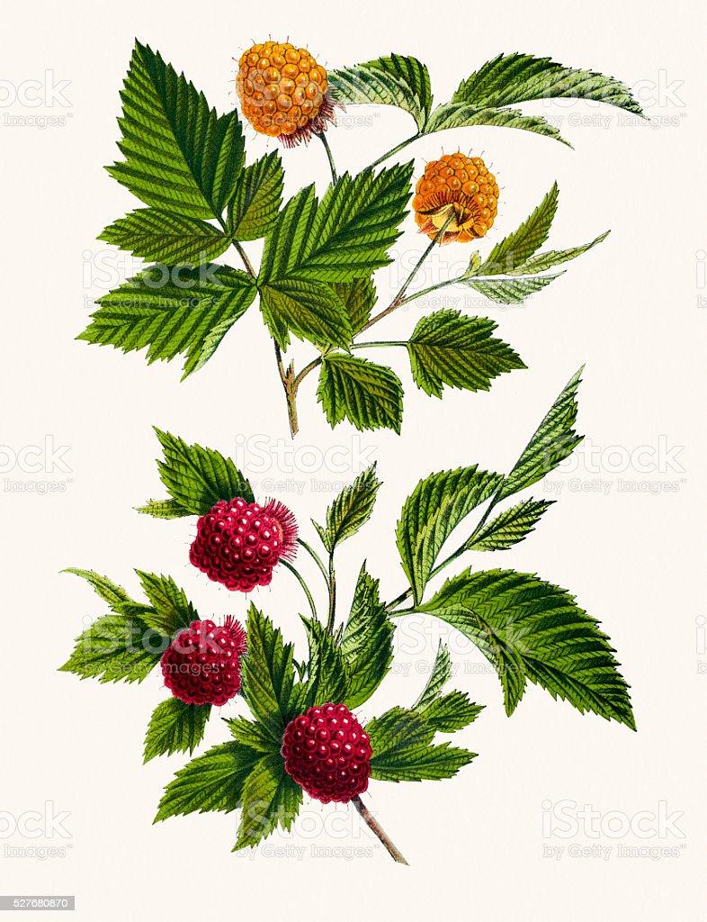 Salmonberry 19th century illustration vector art illustration